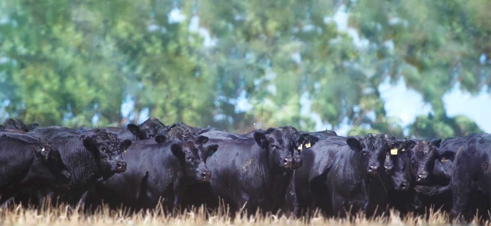 black-bulls-new-edit-1684-2