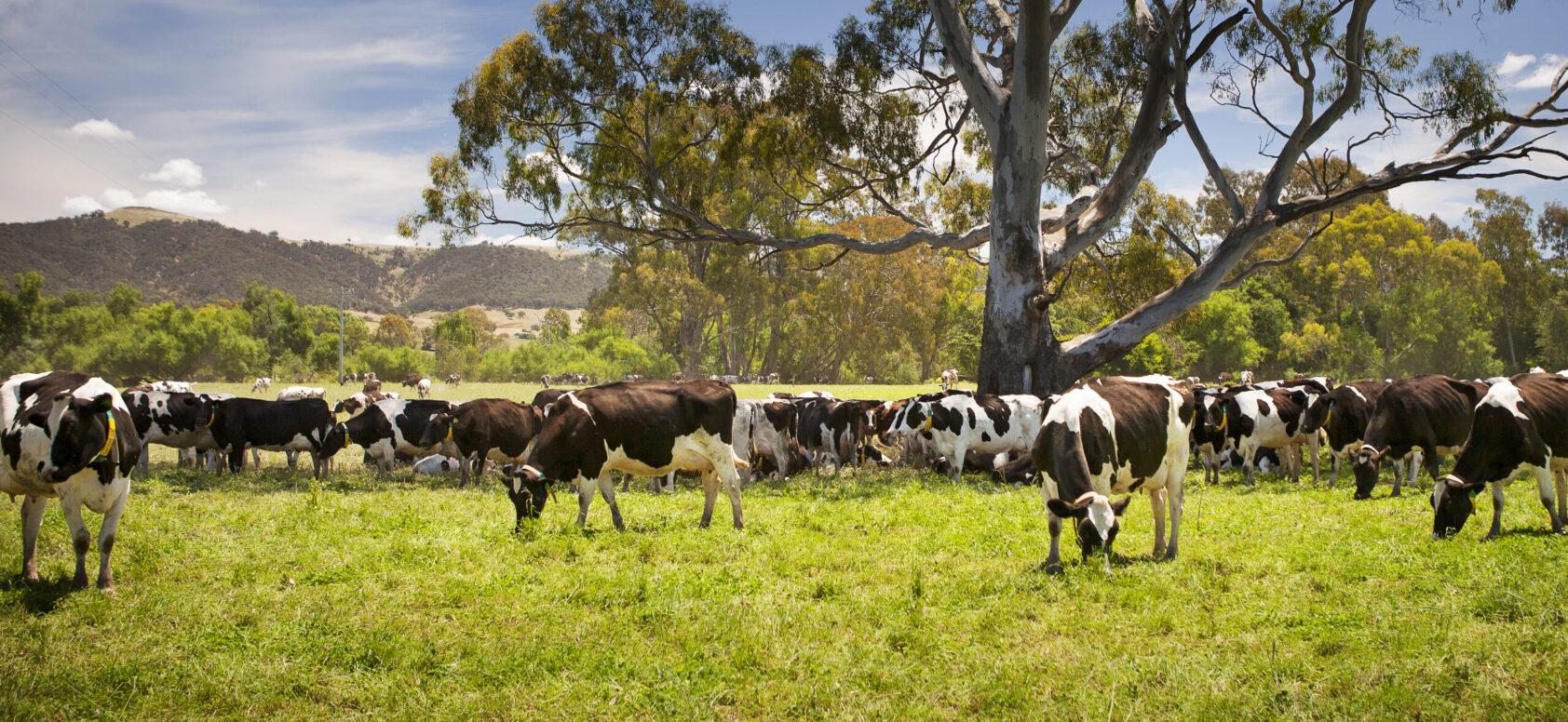 homepage-dairycow
