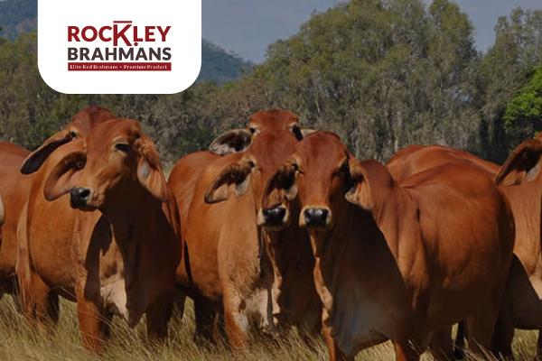 Rockley Brahmans Case Study